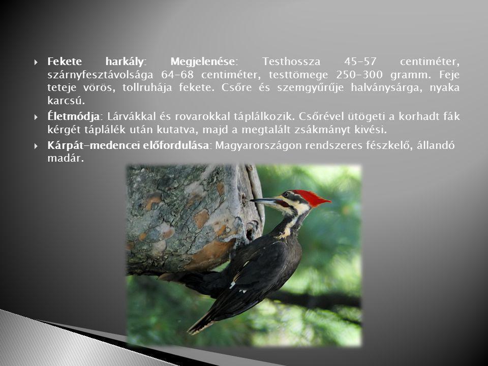  Fekete harkály: Megjelenése: Testhossza 45-57 centiméter, szárnyfesztávolsága 64-68 centiméter, testtömege 250-300 gramm.