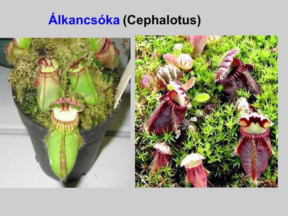 Kürtvirág (Sarracenia )