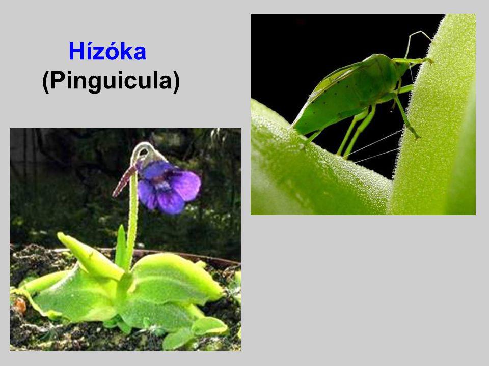III. csoport: A Dionaea-Drosera csoport A levelek v. részeik sajátszerű mozgásával fogják meg és tartják fogva a rovarokat. A hazai Pinguicula és Dros