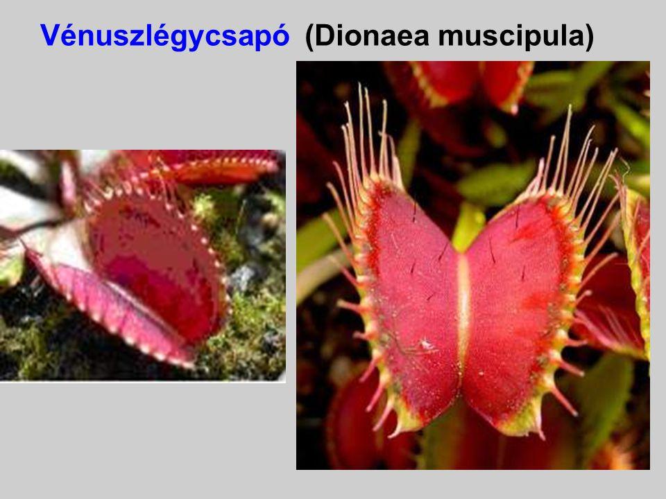 Vénuszlégycsapó (Dionaea muscipula)) Kagylószerű leveleit a másodperc töredéke alatt képes rácsapni a rajta megtelepedő rovarra. Az állatokkal ellenté