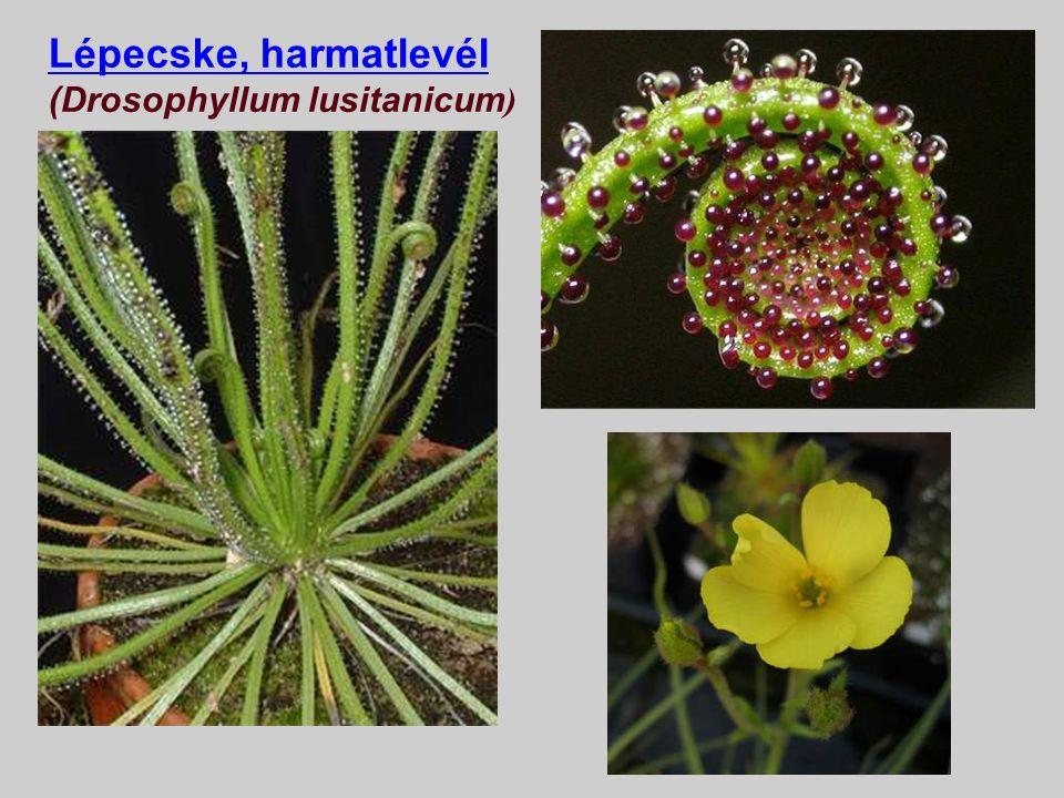 Rovarevő, rovarölő, húsevő, carnivor növények Olyan növények, amelyek bizonyos szerveik-kel apró állatokat, különösen rovarokat (innen rovarevő nevük)