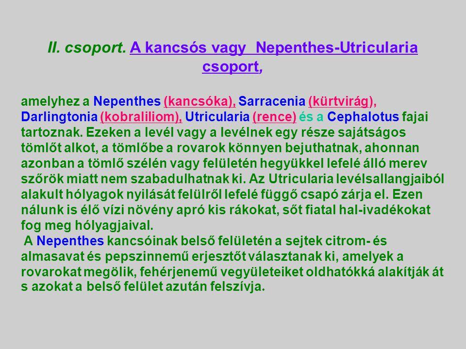 Lépecske, harmatlevél (Drosophyllum lusitanicum )