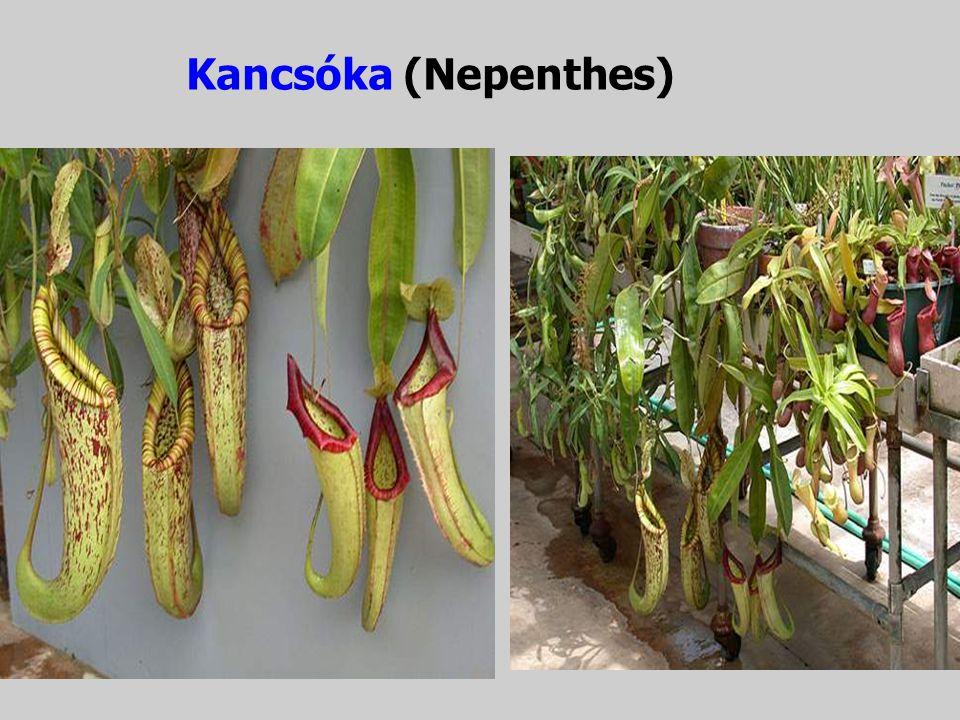II. csoport. A kancsós vagy Nepenthes-Utricularia csoport, amelyhez a Nepenthes (kancsóka), Sarracenia (kürtvirág), Darlingtonia (kobraliliom), Utricu