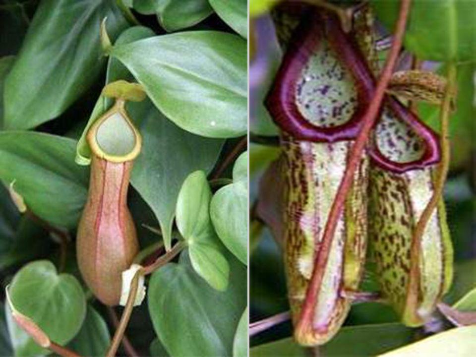 Érdekes a kancsóka (Nepentes sp.) vadászati módszere: cáfolták a korábbi föltevést, hogy a rovarok, pókok, százlábúak a kancsóka viaszos levelén megcs