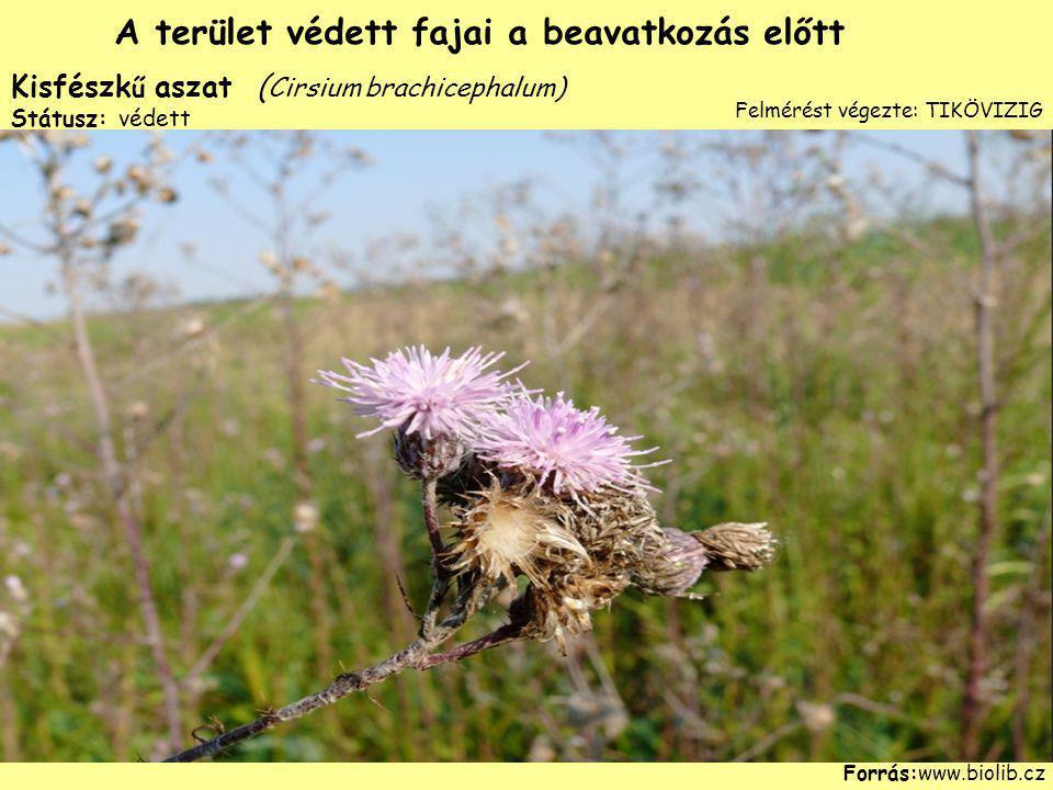 Kisfészk ű aszat ( Cirsium brachicephalum) Státusz: védett Forrás:www.biolib.cz A terület védett fajai a beavatkozás előtt Felmérést végezte: TIKÖVIZI