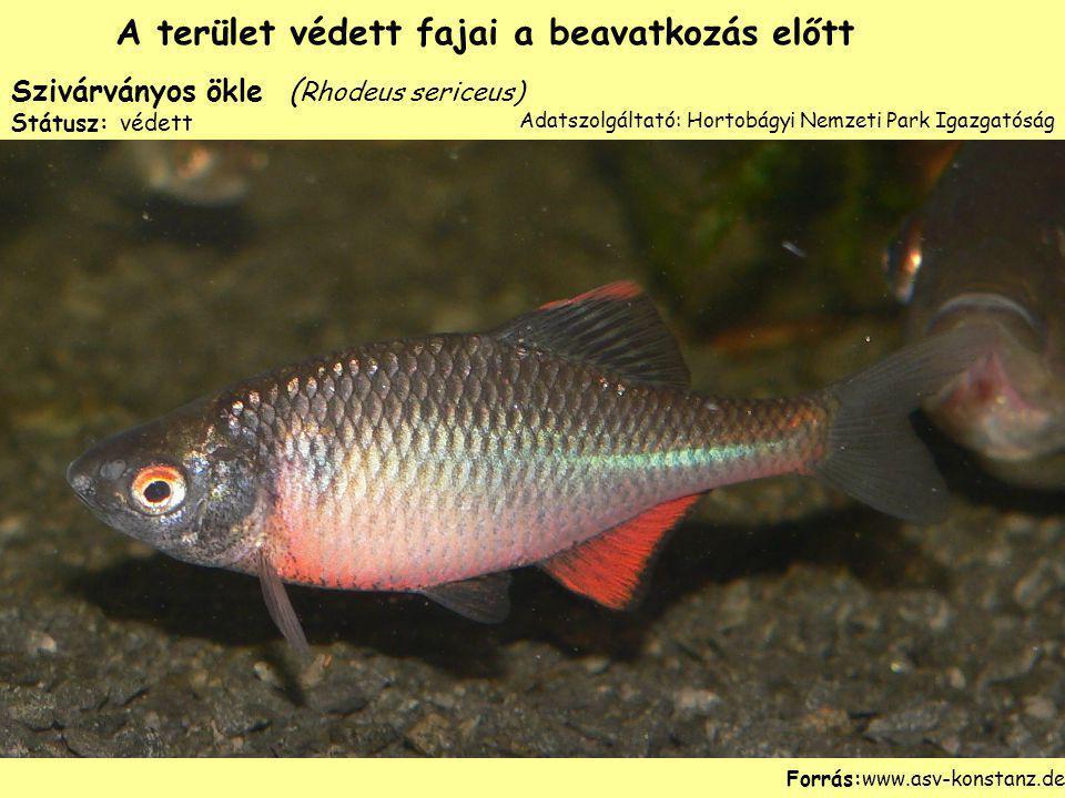 Szivárványos ökle ( Rhodeus sericeus) Státusz: védett Forrás:www.asv-konstanz.de A terület védett fajai a beavatkozás előtt Adatszolgáltató: Hortobágy