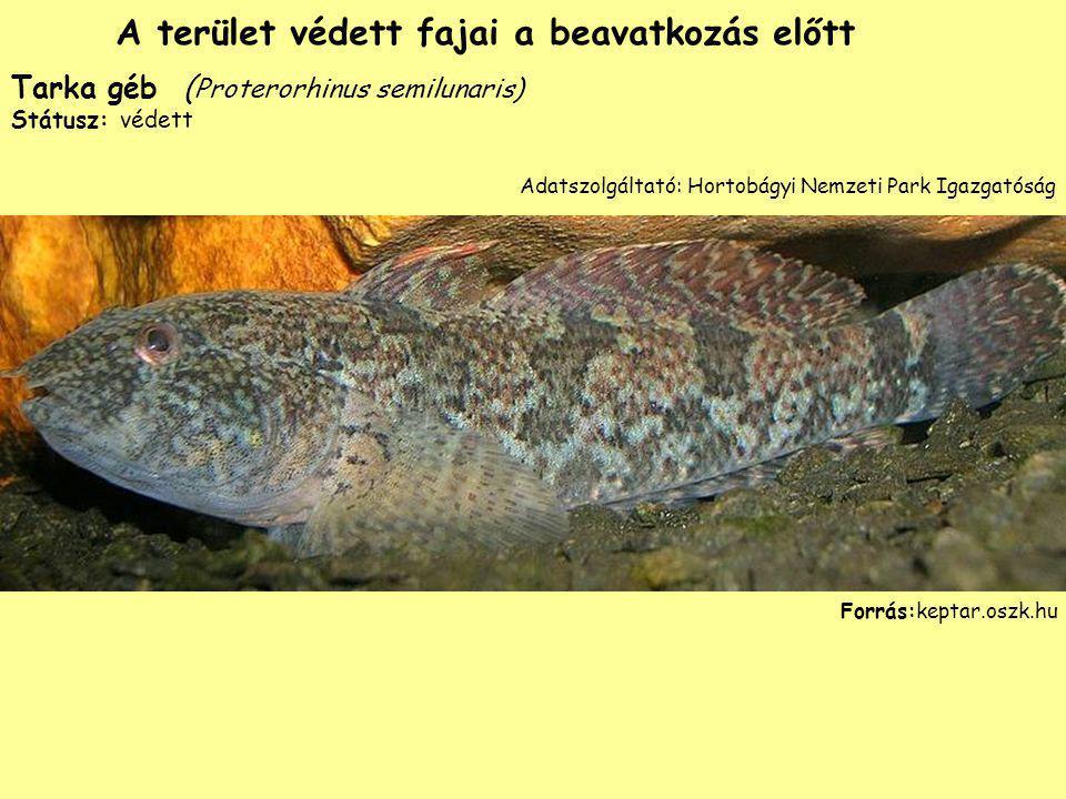 Tarka géb ( Proterorhinus semilunaris) Státusz: védett Forrás:keptar.oszk.hu A terület védett fajai a beavatkozás előtt Adatszolgáltató: Hortobágyi Ne