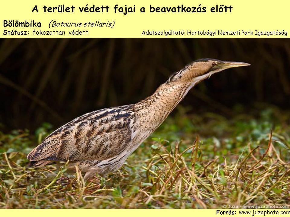 Bölömbika ( Botaurus stellaris) Státusz: fokozottan védett Forrás: www.juzaphoto.com A terület védett fajai a beavatkozás előtt Adatszolgáltató: Horto