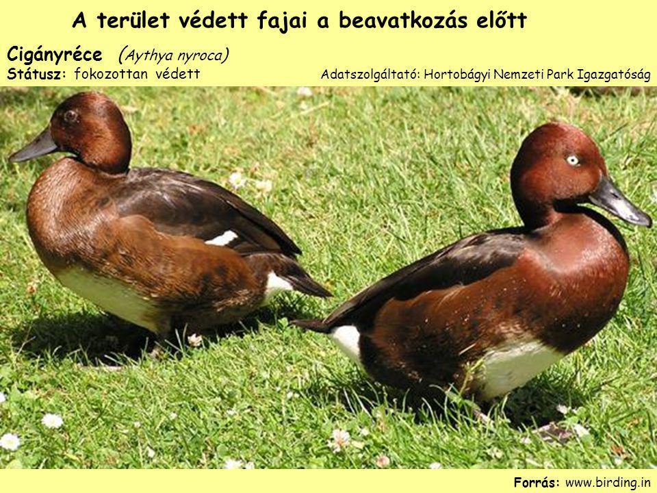 Cigányréce ( Aythya nyroca ) Státusz: fokozottan védett Forrás: www.birding.in A terület védett fajai a beavatkozás előtt Adatszolgáltató: Hortobágyi