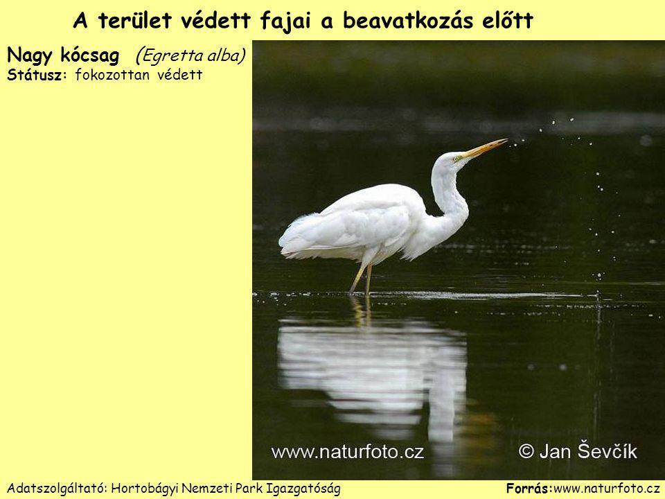Nagy kócsag ( Egretta alba) Státusz: fokozottan védett Forrás:www.naturfoto.cz A terület védett fajai a beavatkozás előtt Adatszolgáltató: Hortobágyi