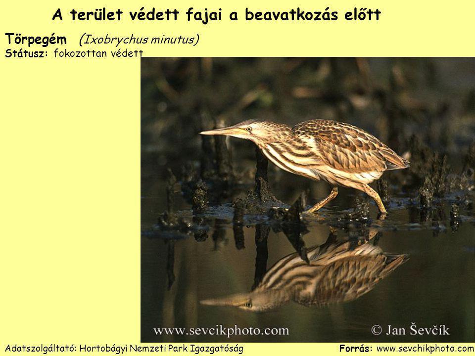 Törpegém ( Ixobrychus minutus) Státusz: fokozottan védett Forrás: www.sevchikphoto.com A terület védett fajai a beavatkozás előtt Adatszolgáltató: Hor