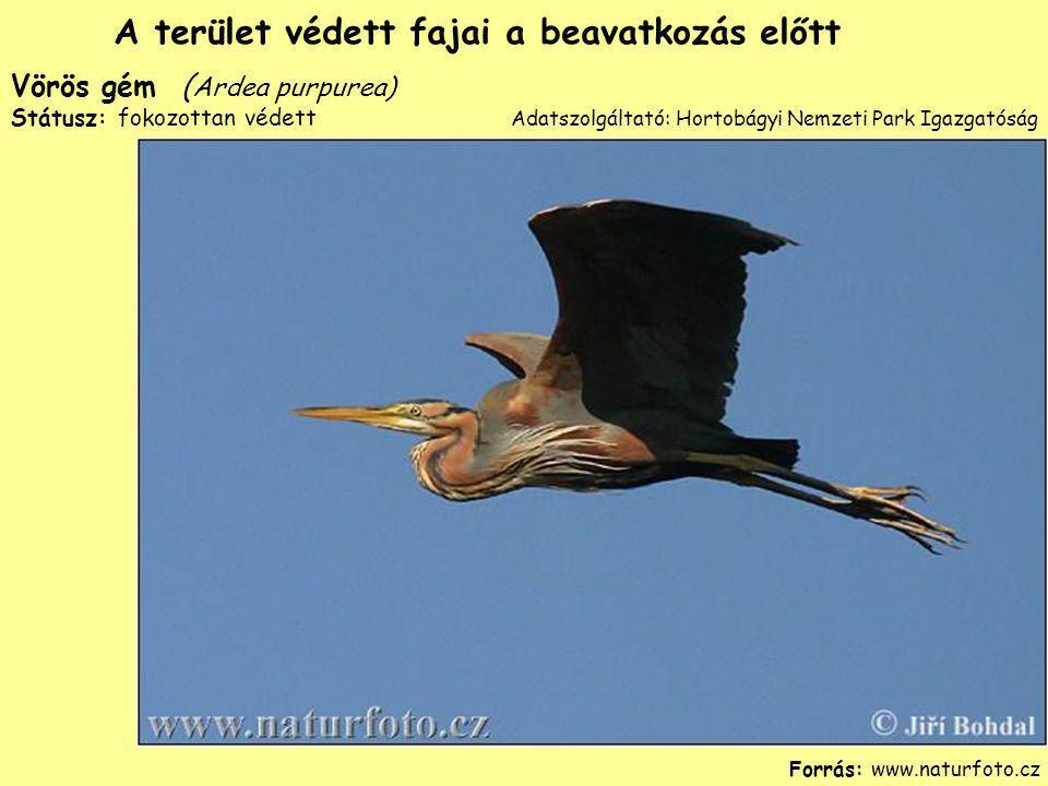 Vörös gém ( Ardea purpurea) Státusz: fokozottan védett Forrás: www.naturfoto.cz A terület védett fajai a beavatkozás előtt Adatszolgáltató: Hortobágyi