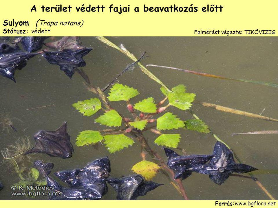 Sulyom ( Trapa natans) Státusz: védett Forrás:www.bgflora.net A terület védett fajai a beavatkozás előtt Felmérést végezte: TIKÖVIZIG