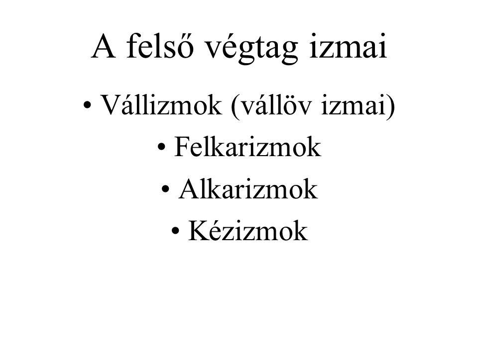A felső végtag izmai Vállizmok (vállöv izmai) Felkarizmok Alkarizmok Kézizmok