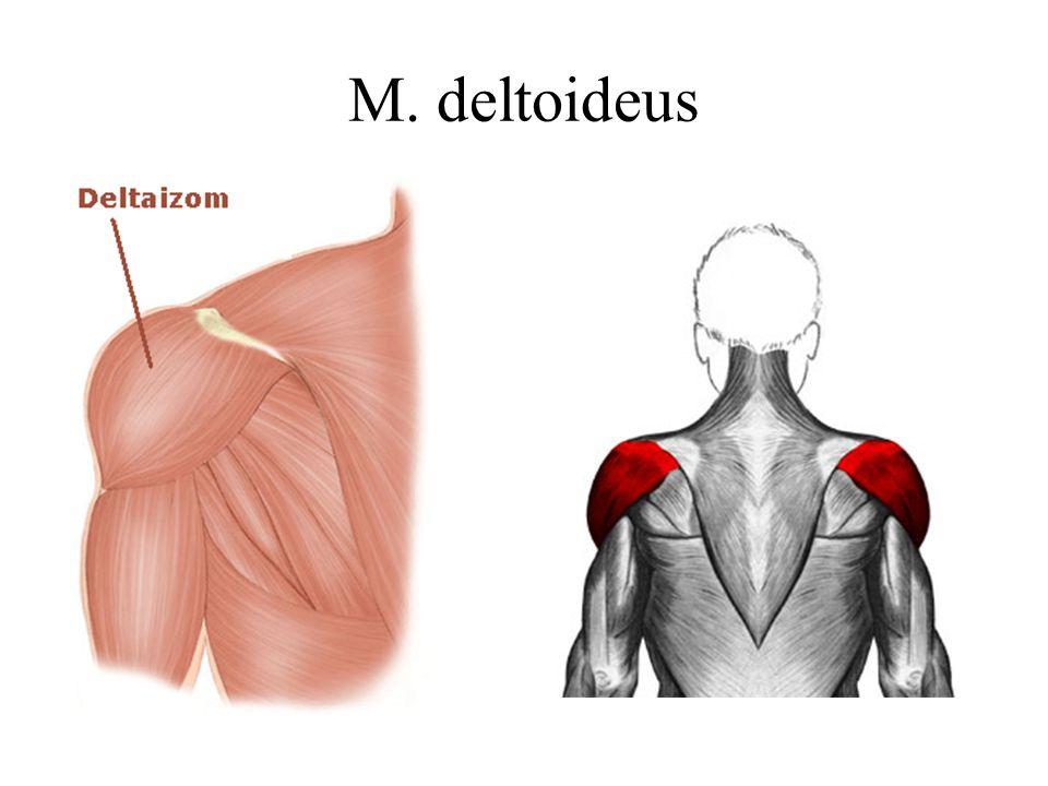M. deltoideus