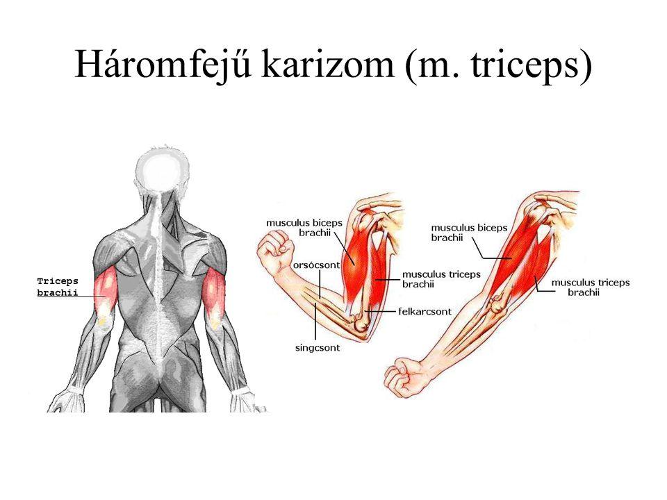 Háromfejű karizom (m. triceps)