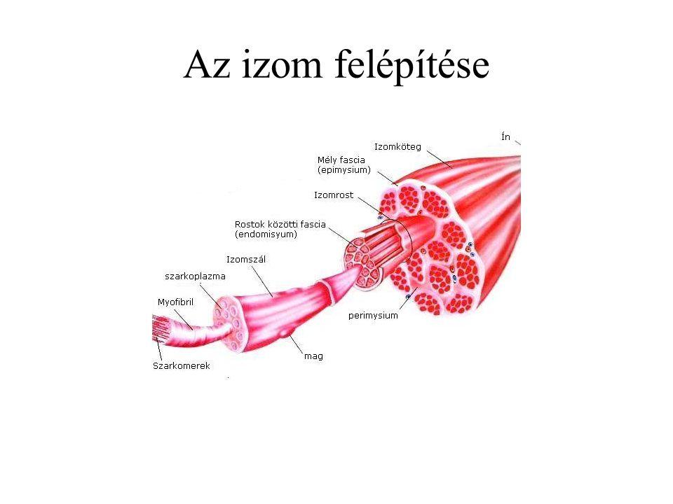 Izomrostok Fehér izmok –Sok myofibrillum –Kevés sarcoplasma –Gyors összehúzódásra képes Vörös izmok –Kevesebb myofibrillum –Sok sarcoplazma –Kitartó, tónusos összehúzódás