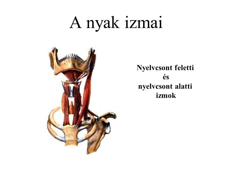 A nyak izmai Nyelvcsont feletti és nyelvcsont alatti izmok