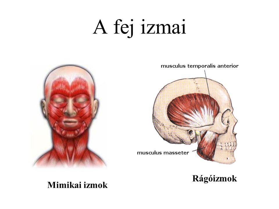A fej izmai Mimikai izmok Rágóizmok