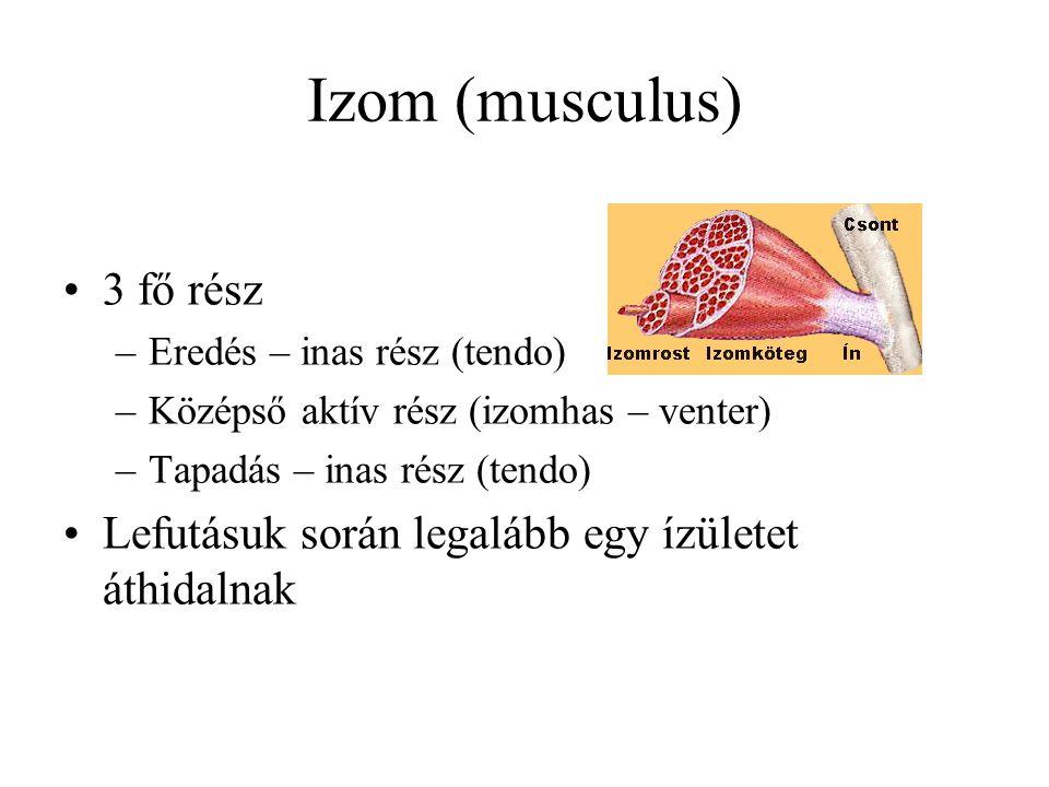 Izom (musculus) 3 fő rész –Eredés – inas rész (tendo) –Középső aktív rész (izomhas – venter) –Tapadás – inas rész (tendo) Lefutásuk során legalább egy ízületet áthidalnak