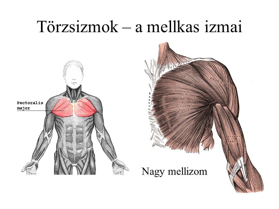 Kétfejű karizom (m. biceps)