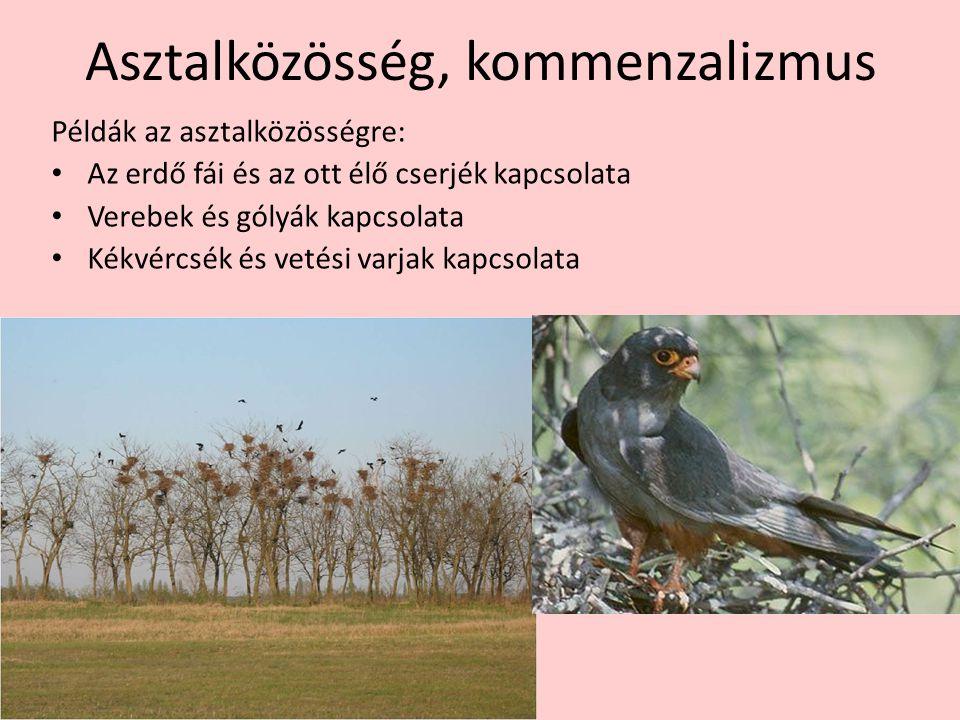 Asztalközösség, kommenzalizmus Példák az asztalközösségre: Az erdő fái és az ott élő cserjék kapcsolata Verebek és gólyák kapcsolata Kékvércsék és vet