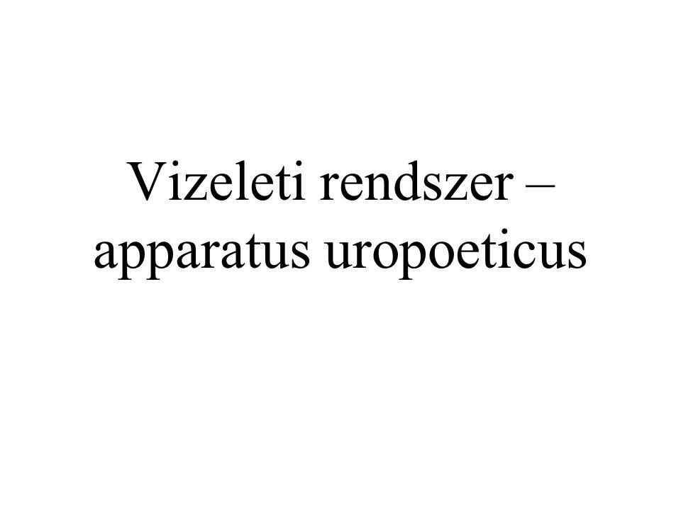 Vizeleti rendszer (apparatus uropoeticus) Feladata –A szervezet számára felesleges folyadék –Anyagcsere folyamán keletkezett Víz Anyagcseretermékek eltávolítása Részei –Vizeletkiválasztó szerv – 2 vese (ren) –Vizeletgyűjtő szerv – húgyhólyag (vesica urinaria) –Vizeletelvezető szervek 2 húgyvezeték (ureter) Húgycső (urethra)