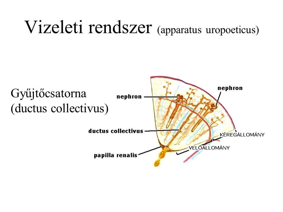Gyűjtőcsatorna (ductus collectivus)