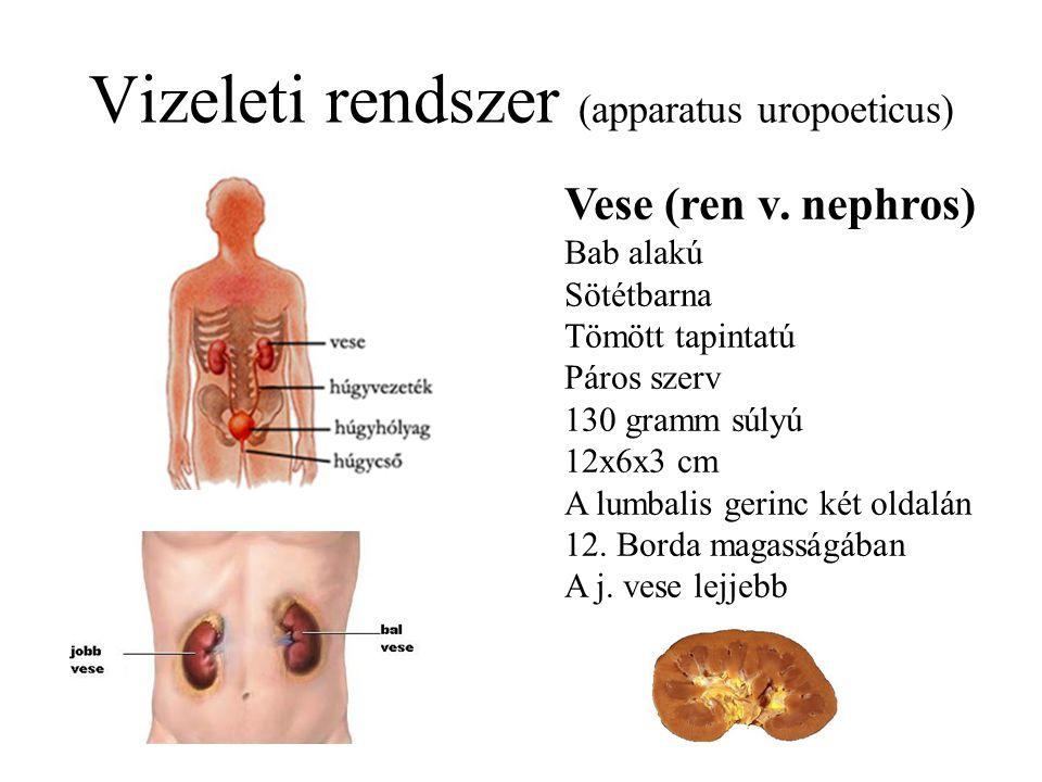 Vizeleti rendszer (apparatus uropoeticus) Vese (ren v.