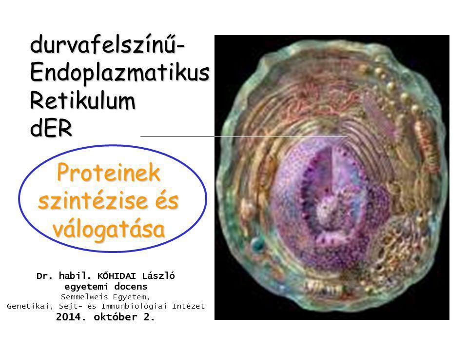 durvafelszínű- Endoplazmatikus Retikulum dER Proteinek szintézise és válogatása Dr. habil. KŐHIDAI László egyetemi docens Semmelweis Egyetem, Genetika