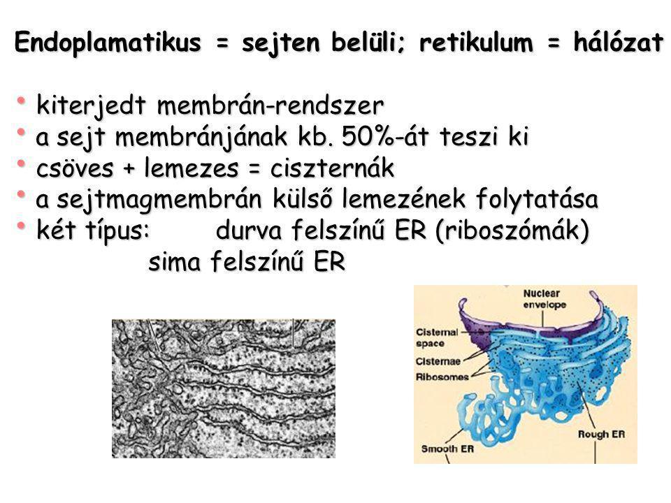 Endoplamatikus = sejten belüli; retikulum = hálózat kiterjedt membrán-rendszer kiterjedt membrán-rendszer a sejt membránjának kb. 50%-át teszi ki a se