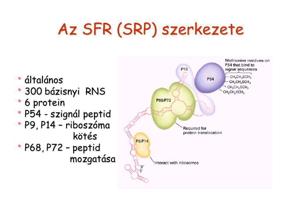 Az SFR (SRP) szerkezete általános általános 300 bázisnyi RNS 300 bázisnyi RNS 6 protein 6 protein P54 - szignál peptid P54 - szignál peptid P9, P14 – riboszóma P9, P14 – riboszóma kötés kötés P68, P72 – peptid P68, P72 – peptid mozgatása mozgatása