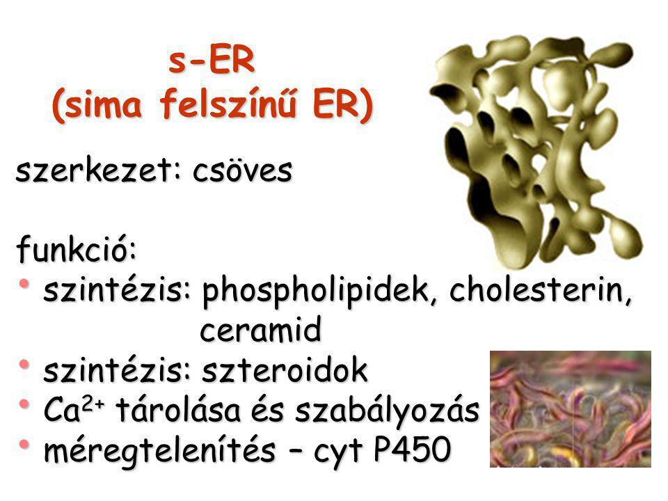 s-ER (sima felszínű ER) szerkezet: csöves funkció: szintézis: phospholipidek, cholesterin, szintézis: phospholipidek, cholesterin, ceramid ceramid szintézis: szteroidok szintézis: szteroidok Ca 2+ tárolása és szabályozás Ca 2+ tárolása és szabályozás méregtelenítés – cyt P450 méregtelenítés – cyt P450