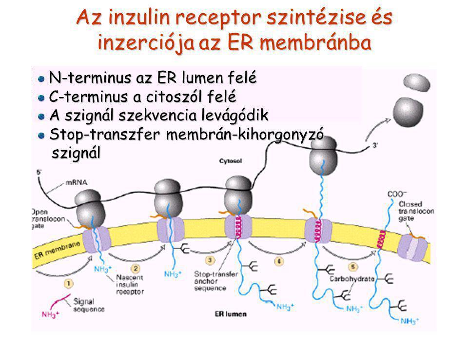Az inzulin receptor szintézise és inzerciója az ER membránba N-terminus az ER lumen felé C-terminus a citoszól felé C-terminus a citoszól felé A szignál szekvencia levágódik A szignál szekvencia levágódik Stop-transzfer membrán-kihorgonyzó Stop-transzfer membrán-kihorgonyzó szignál szignál