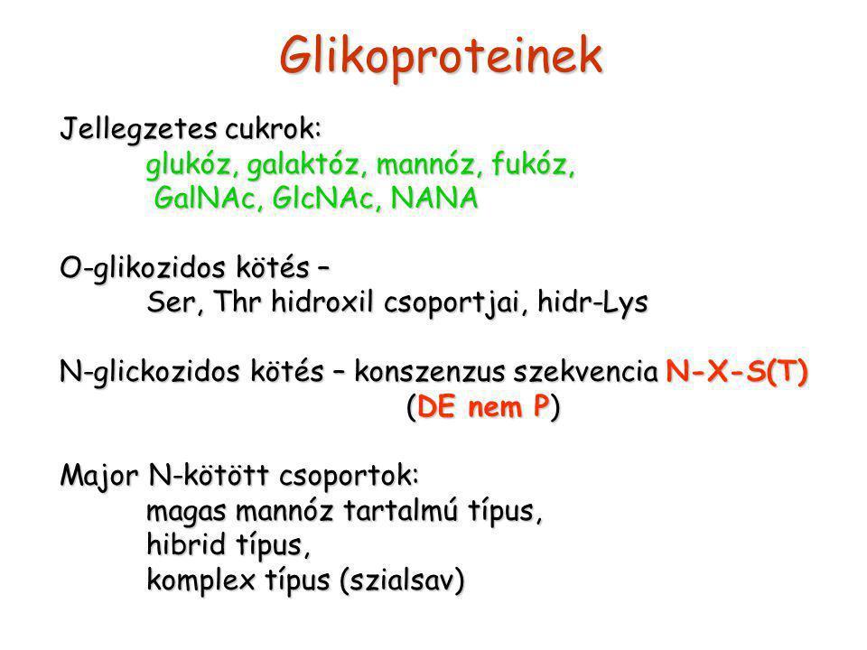 Glikoproteinek Jellegzetes cukrok: glukóz, galaktóz, mannóz, fukóz, GalNAc, GlcNAc, NANA GalNAc, GlcNAc, NANA O-glikozidos kötés – Ser, Thr hidroxil csoportjai, hidr-Lys N-glickozidos kötés – konszenzus szekvencia N-X-S(T) (DE nem P) Major N-kötött csoportok: magas mannóz tartalmú típus, hibrid típus, komplex típus (szialsav)