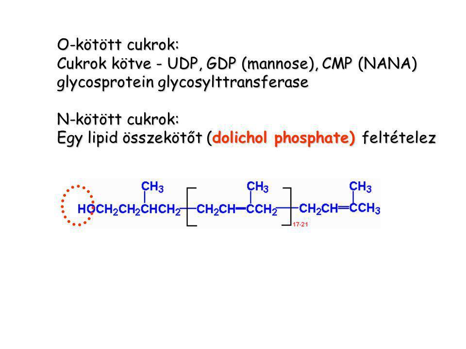 O-kötött cukrok: Cukrok kötve - UDP, GDP (mannose), CMP (NANA) glycosprotein glycosylttransferase N-kötött cukrok: Egy lipid összekötőt (dolichol phosphate) feltételez