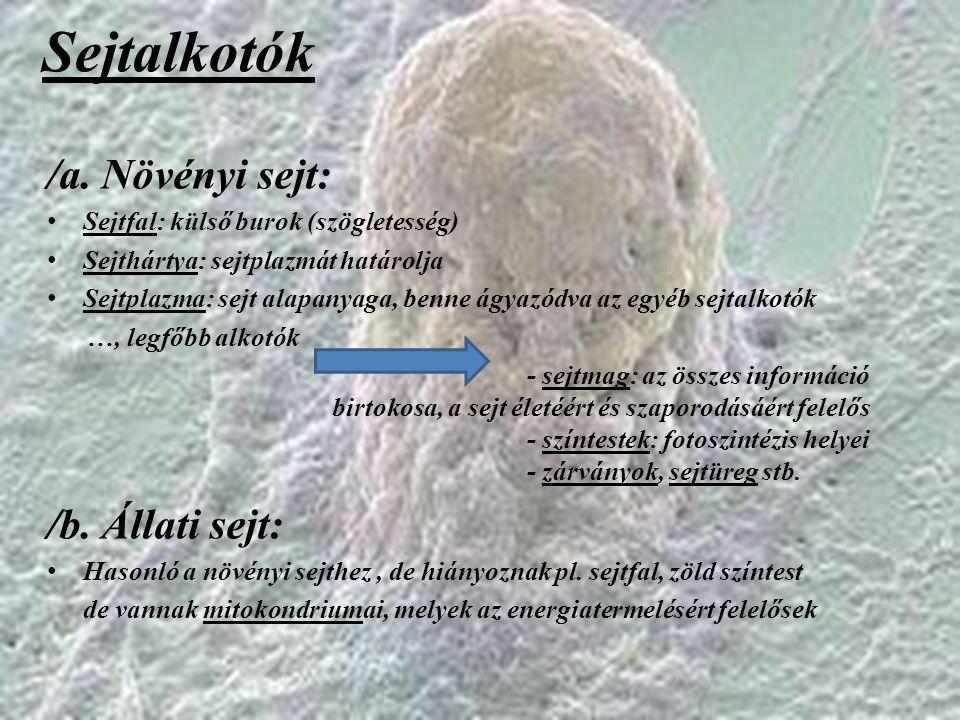 Sejtalkotók /a. Növényi sejt: Sejtfal: külső burok (szögletesség) Sejthártya: sejtplazmát határolja Sejtplazma: sejt alapanyaga, benne ágyazódva az eg
