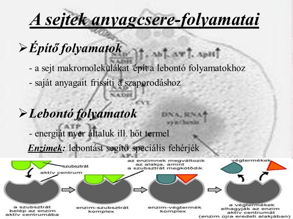 A sejtek anyagcsere-folyamatai  Építő folyamatok - a sejt makromolekulákat épít a lebontó folyamatokhoz - saját anyagait frissíti a szaporodáshoz  L