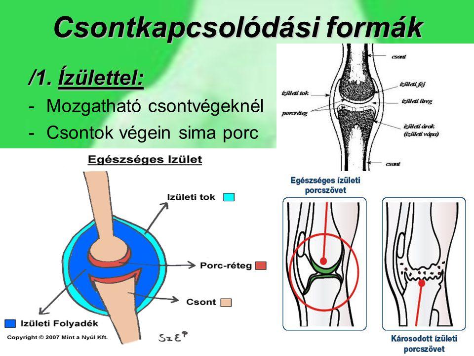Csontkapcsolódási formák /1. Ízülettel: -Mozgatható csontvégeknél -Csontok végein sima porc