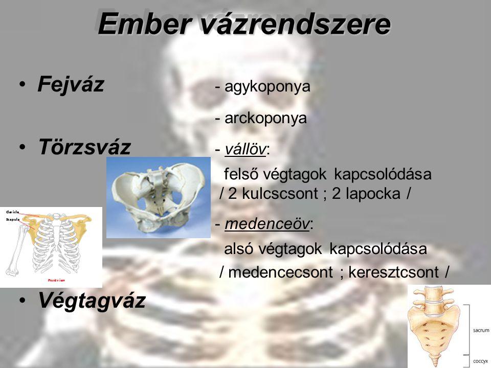 Ember vázrendszere Fejváz - agykoponya - arckoponya Törzsváz - vállöv: felső végtagok kapcsolódása / 2 kulcscsont ; 2 lapocka / - medenceöv: alsó végt