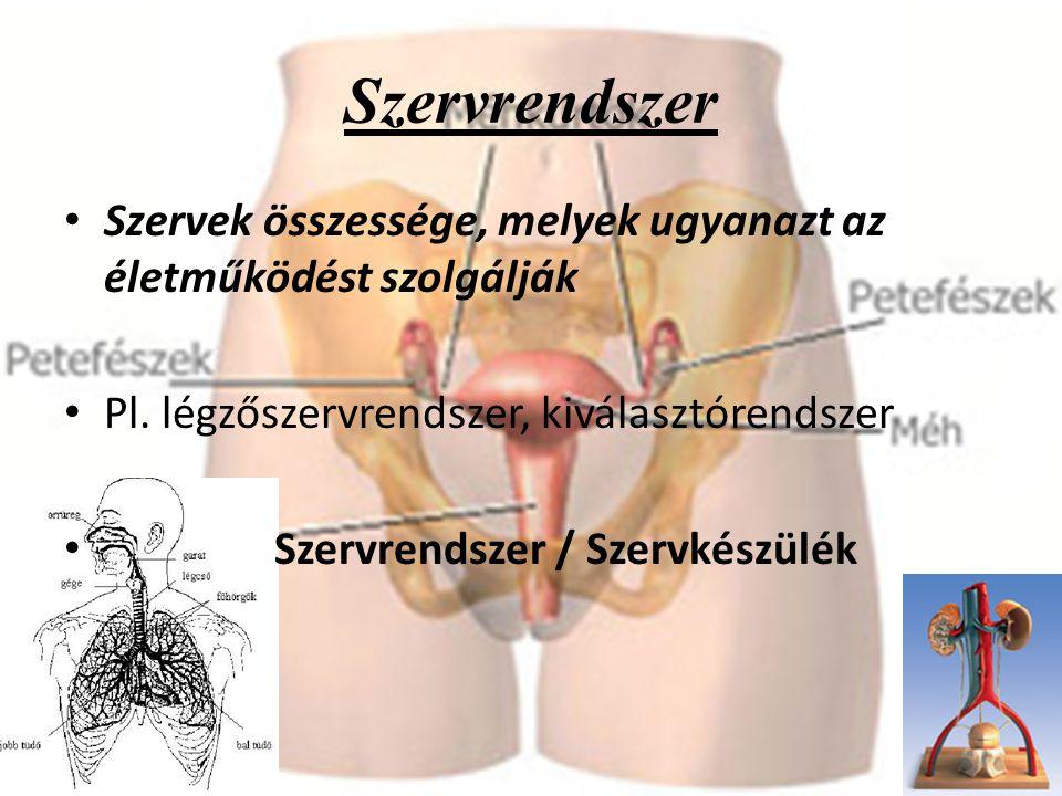 Szervrendszer Szervek összessége, melyek ugyanazt az életműködést szolgálják Pl. légzőszervrendszer, kiválasztórendszer Szervrendszer / Szervkészülék