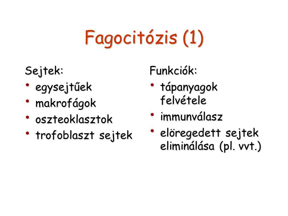Fagocitózis (2) Szükséges elemei: jel jel membrán receptor (pl.: antitest Fc receptora) membrán receptor (pl.: antitest Fc receptora) álláb képződés álláb képződés kortikális aktin hálózat kortikális aktin hálózat A kialakuló vezikulum: fagoszóma (hetero- vagy autofagoszóma)