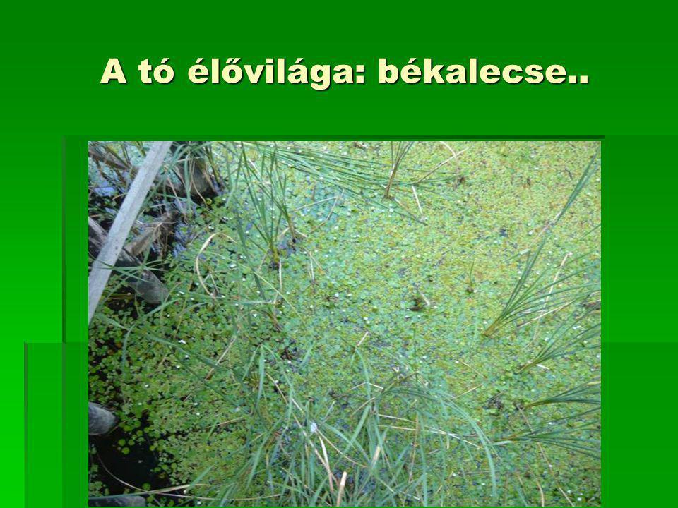 A tó élővilága: békalecse..