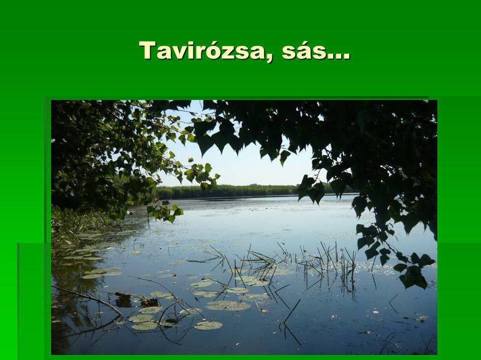 Tavirózsa, sás…