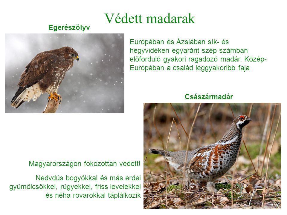 Védett madarak Európában és Ázsiában sík- és hegyvidéken egyaránt szép számban előforduló gyakori ragadozó madár. Közép- Európában a család leggyakori
