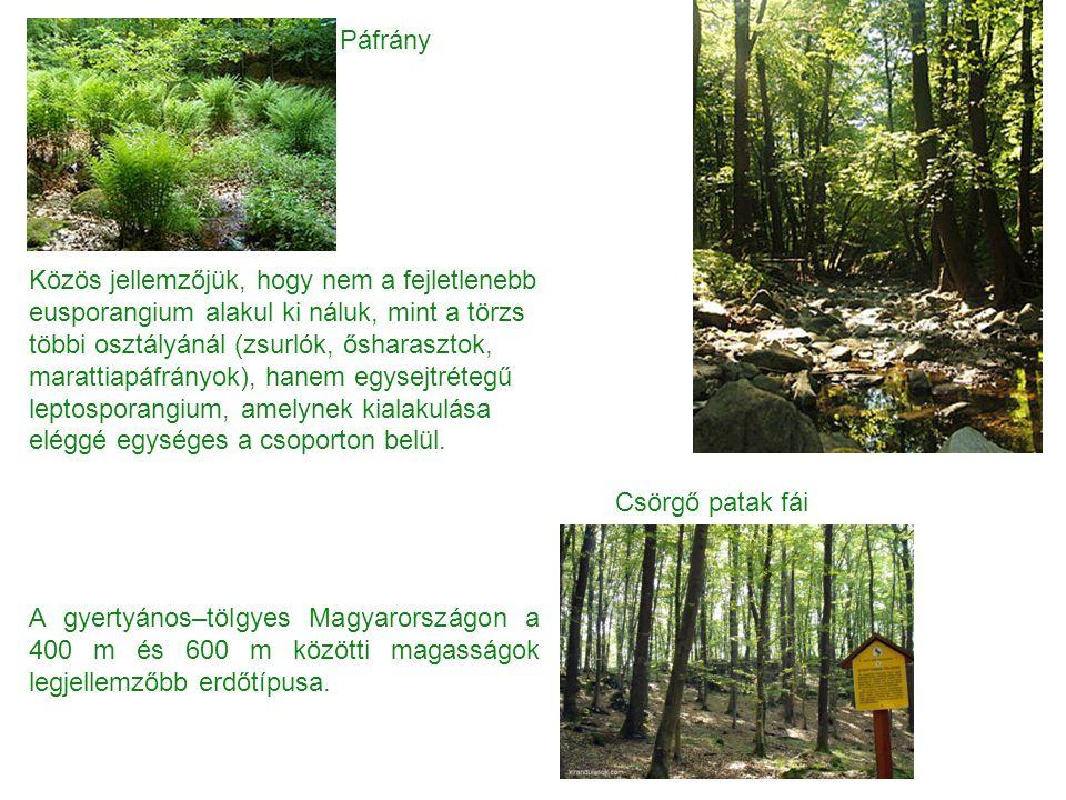 Páfrány Csörgő patak fái A gyertyános–tölgyes Magyarországon a 400 m és 600 m közötti magasságok legjellemzőbb erdőtípusa. Közös jellemzőjük, hogy nem