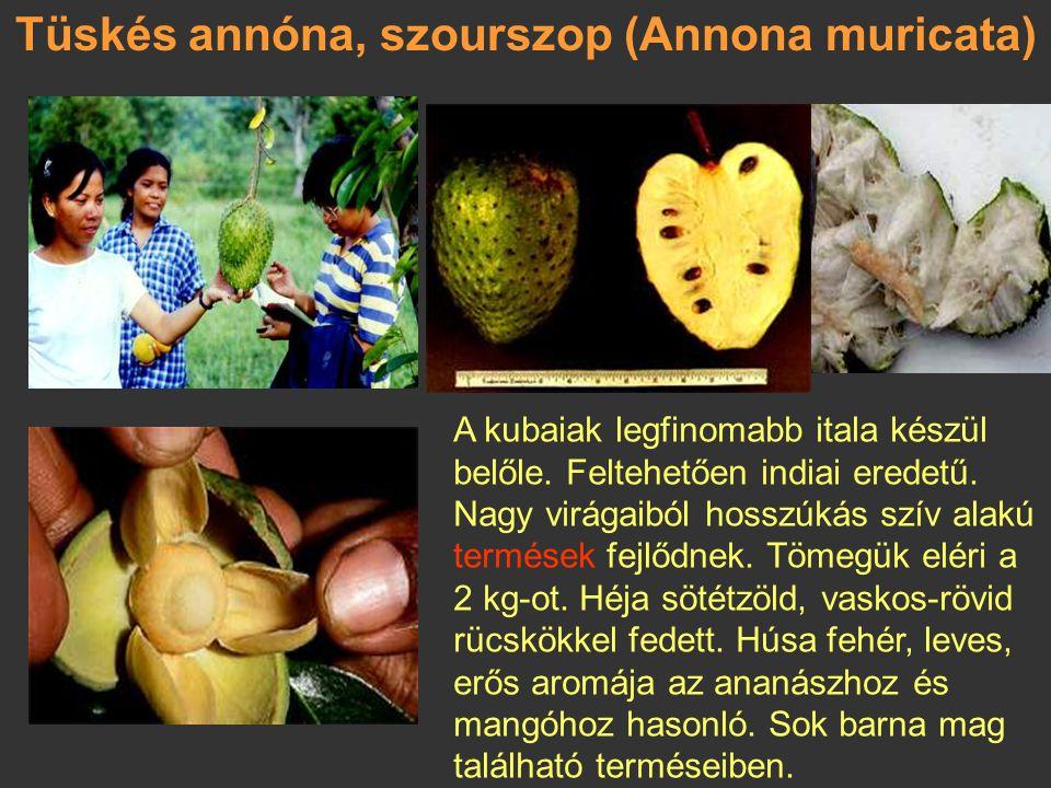 Ökörszívalma (Annona reticulata) Az aztékok zapota-fának, az indiaiak krémalmának nevezik ezt a trópusi Amerikában honos kis fát. A 6-9 m-es növények