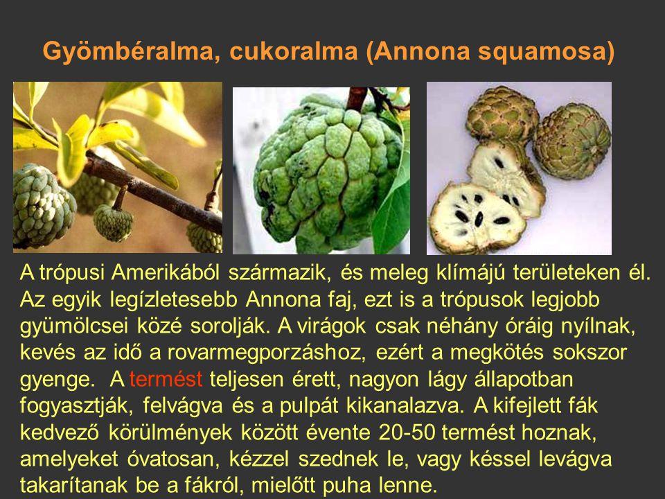 Tüskés annóna, szourszop (Annona muricata) A kubaiak legfinomabb itala készül belőle. Feltehetően indiai eredetű. Nagy virágaiból hosszúkás szív alakú