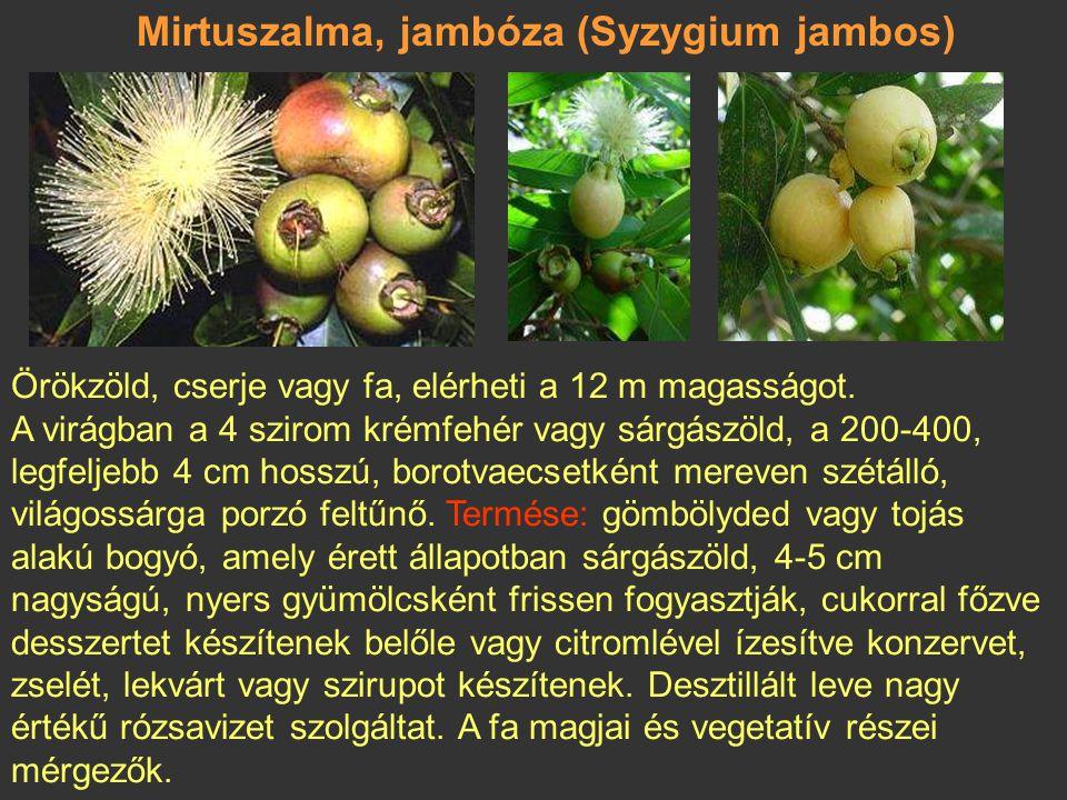 Malájalma (Syzygium malaccense) A maláj szigetvilágban honos, trópusi területeken világszerte gyakran termesztik. Legfeljebb 25 m magas, körte alakú,