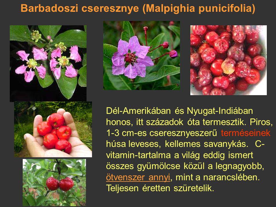 Naranjilla (Solanum quitoense) Perui földicseresznye, quitói narancska Termése: vastag kocsányú, legfeljebb 6,5 cm nagyságú bogyó, amelyen megmarad a